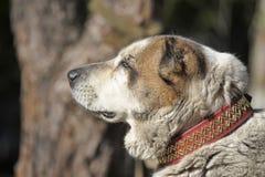Старая центральная азиатская собака чабана Стоковая Фотография