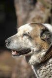 Старая центральная азиатская собака чабана Стоковые Изображения RF