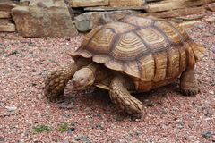 Старая черепаха Стоковые Фотографии RF