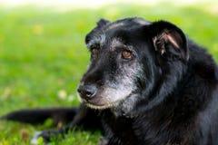 Старая черная собака стоковое изображение