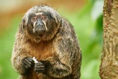 Старая шерстистая обезьяна Стоковые Изображения RF
