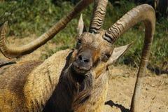 старая ibex крупного плана nubian Стоковое Изображение RF