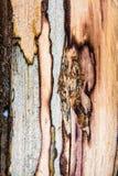 Старая mouldering текстура древесины дуба Стоковая Фотография