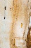 Старая mouldering текстура древесины дуба Стоковые Изображения