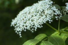 Старейшина или elderberry Sambucus в мае стоковые изображения