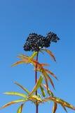 старейшинь ягод herbaceous Стоковые Изображения