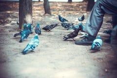 Старик в парке сидит на стенде и подает голуби Стоковые Фотографии RF