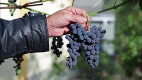Старик держа ветвь виноградин акции видеоматериалы