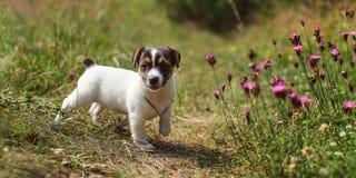 2 старого месяца щенка терьера Джека Рассела идя в траву, розовую стоковое фото