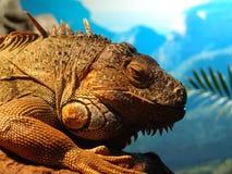 стародедовская ящерица Стоковые Фотографии RF