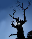 стародедовский дуб Стоковое Изображение RF