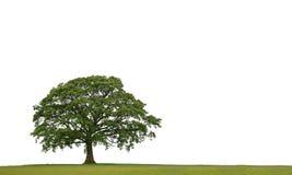 стародедовский дуб Стоковая Фотография