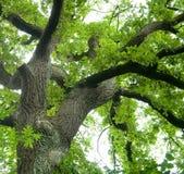 стародедовский дуб Стоковое Изображение