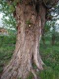 Старое большое дерево стоковые изображения