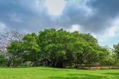 Старое большое дерево под colud и голубым небом Стоковое Изображение RF