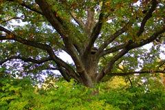 старое большое дерево Стоковое фото RF