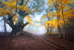 Старое волшебное дерево с большими ветвями и апельсином и листьями красного цвета стоковая фотография
