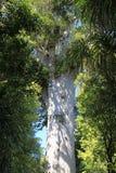 Старое гигантское дерево Tane Mahuta Kauri 2000 лет Стоковые Изображения RF
