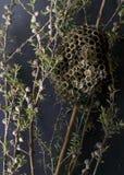 Старое гнездо оси на ветви Manuka стоковые изображения rf