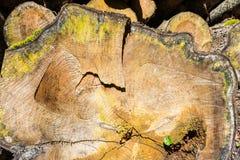 Старое дерево было отрезано вниз Стоковое Изображение RF