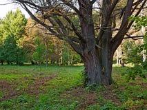 Старое дерево вербы в парке Стоковое Изображение