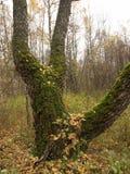 Старое дерево в лесе осени покрытом с мхом Стоковые Изображения