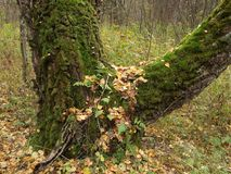 Старое дерево в лесе осени покрытом с мхом Стоковые Изображения RF
