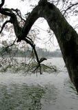 Старое дерево начинает озеро в зеленом цвете стоковые фотографии rf
