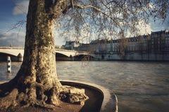 Старое дерево на des Tuileries quai Стоковые Изображения