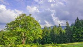 Старое дерево на Glade и облаках леса Промежуток времени сток-видео