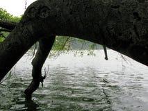 Старое дерево опрокидывая опрокидывающ ее сторону наблюдая голубое озеро стоковые фотографии rf