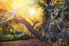 Старое дерево осени в парке на солнечном дне стоковое изображение
