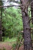 старое дерево сосенки Стоковое фото RF