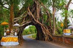 Старое дерево с дорогой через естественный свод в огромном хоботе стоковое фото rf