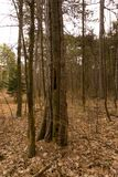 Старое дерево тангажа в древесинах Стоковая Фотография RF