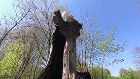 Старое дерево убитое грозами молнии акции видеоматериалы