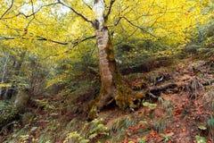 Старое дерево березы в лесе осени Стоковое фото RF