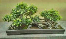 Старое дерево бонзаев Стоковые Фотографии RF