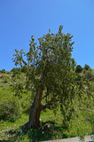 Старое дерево в горах Стоковая Фотография