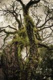 Старое дерево в острове Индонезии Banda Стоковое Фото