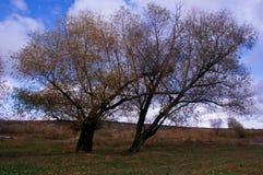 Старое дерево в поле Стоковое фото RF