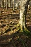 Старое дерево в пуще стоковая фотография