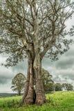 Старое дерево на пасмурный день Стоковое Изображение RF