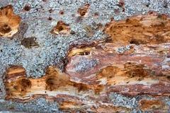 Старое дерево поврежденное termits Стоковые Фотографии RF