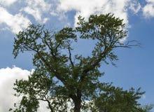 Старое дерево против голубого неба с облаками Стоковая Фотография RF
