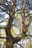 старое дерево сосенки Стоковые Изображения