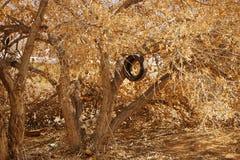 Старое дерево с аккуратным качанием автошины Стоковое Изображение