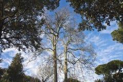 Старое дерево Тосканы плоское Стоковое Изображение