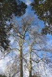 Старое дерево Тосканы плоское Стоковое Изображение RF