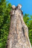Старое дерево дуба Стоковое Изображение RF